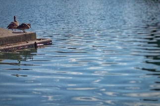 Ducks at the Capitol Reflecting Pool